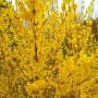 Форзиция Maluch. Взрослое растение. Осень