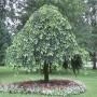 Вяз шершавый кампердоуни. Взрослое растение