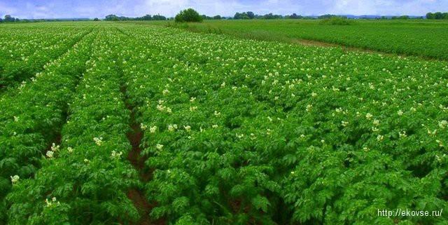 препараты для картофеля