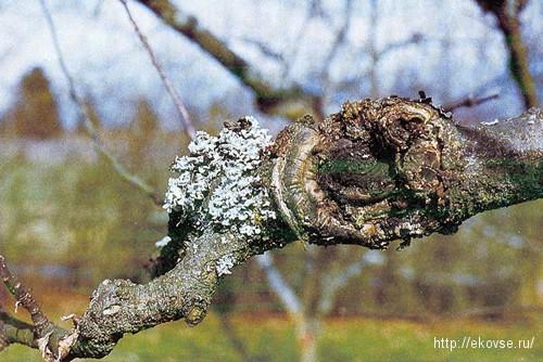рак плодовых деревьев