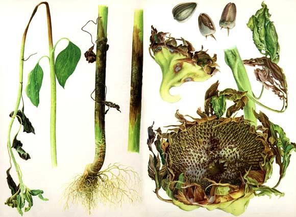 серая гниль растений