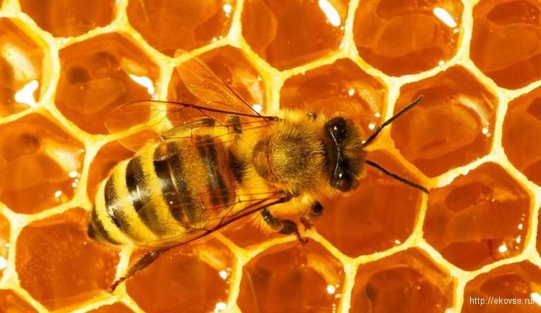 хлорелла для пчел