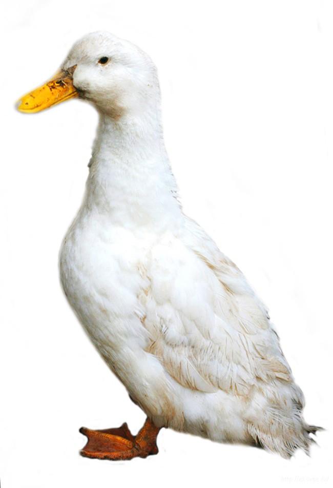 хлорелла для птицы