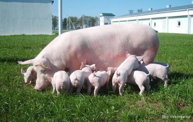 суспензия хлореллы в свиноводстве