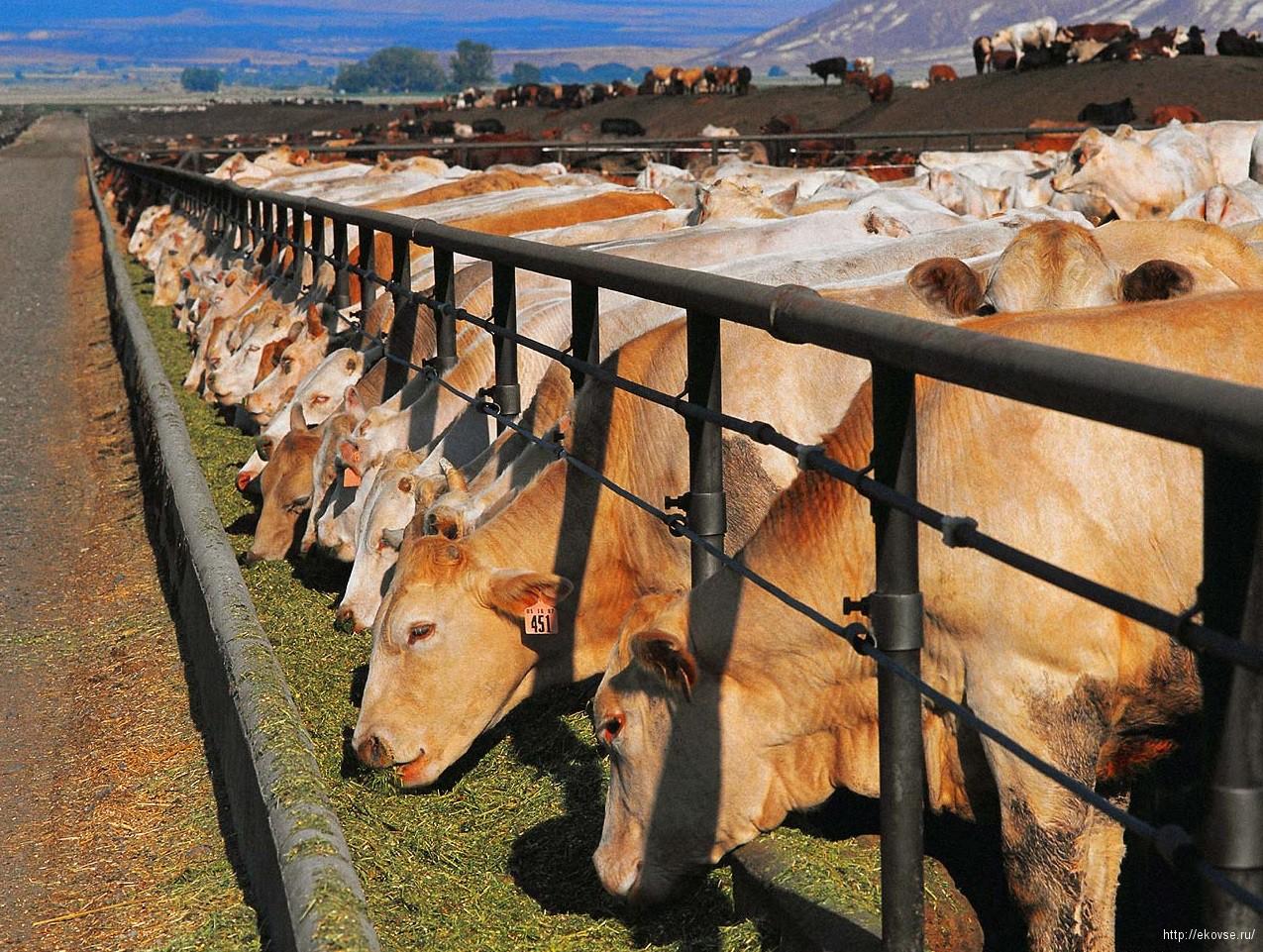 откорм коров