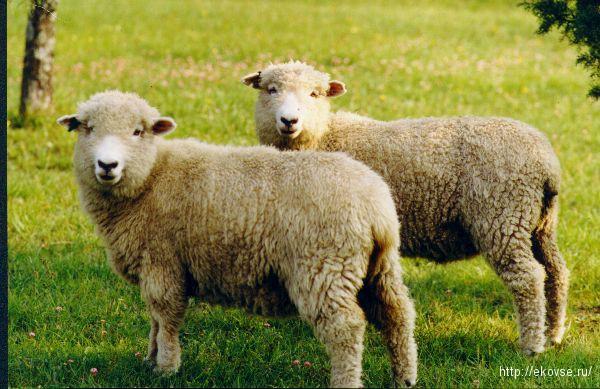 кормовые добавки для овец