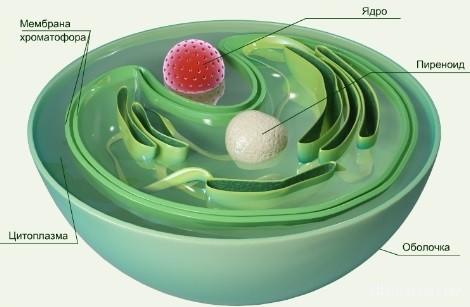 Строение клетки хлореллы